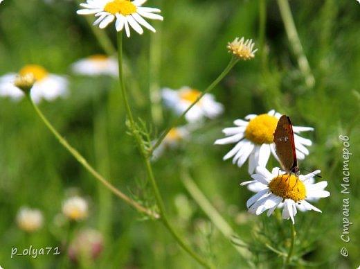 Здравствуйте,дорогие!!! В этом году лето очень радует! Тепло,даже жарко,бывает до +30,но и дождики временами проходят. И,по сравнению с прошлым летом,вижу очень много бабочек!!! Причём,разных,некоторых даже раньше не видела )) И везде(и на огороде,и на поле) много цветов... фото 79