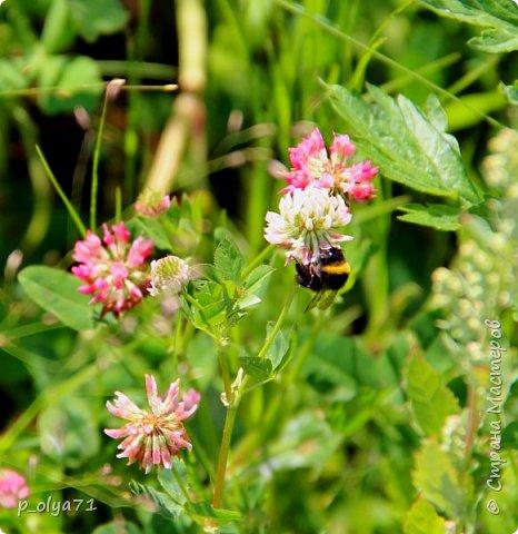 Здравствуйте,дорогие!!! В этом году лето очень радует! Тепло,даже жарко,бывает до +30,но и дождики временами проходят. И,по сравнению с прошлым летом,вижу очень много бабочек!!! Причём,разных,некоторых даже раньше не видела )) И везде(и на огороде,и на поле) много цветов... фото 78