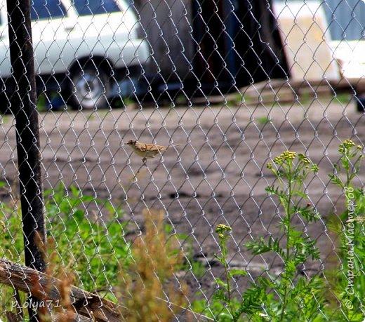 Здравствуйте,дорогие!!! В этом году лето очень радует! Тепло,даже жарко,бывает до +30,но и дождики временами проходят. И,по сравнению с прошлым летом,вижу очень много бабочек!!! Причём,разных,некоторых даже раньше не видела )) И везде(и на огороде,и на поле) много цветов... фото 75