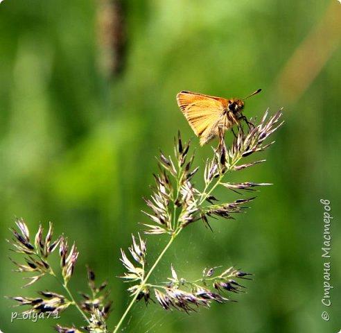 Здравствуйте,дорогие!!! В этом году лето очень радует! Тепло,даже жарко,бывает до +30,но и дождики временами проходят. И,по сравнению с прошлым летом,вижу очень много бабочек!!! Причём,разных,некоторых даже раньше не видела )) И везде(и на огороде,и на поле) много цветов... фото 73