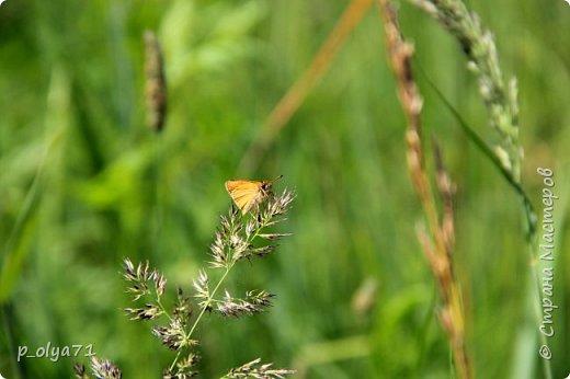 Здравствуйте,дорогие!!! В этом году лето очень радует! Тепло,даже жарко,бывает до +30,но и дождики временами проходят. И,по сравнению с прошлым летом,вижу очень много бабочек!!! Причём,разных,некоторых даже раньше не видела )) И везде(и на огороде,и на поле) много цветов... фото 72