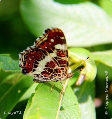 Здравствуйте,дорогие!!! В этом году лето очень радует! Тепло,даже жарко,бывает до +30,но и дождики временами проходят. И,по сравнению с прошлым летом,вижу очень много бабочек!!! Причём,разных,некоторых даже раньше не видела )) И везде(и на огороде,и на поле) много цветов... фото 70