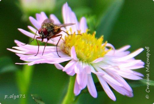 Здравствуйте,дорогие!!! В этом году лето очень радует! Тепло,даже жарко,бывает до +30,но и дождики временами проходят. И,по сравнению с прошлым летом,вижу очень много бабочек!!! Причём,разных,некоторых даже раньше не видела )) И везде(и на огороде,и на поле) много цветов... фото 94