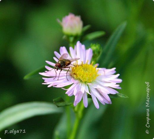 Здравствуйте,дорогие!!! В этом году лето очень радует! Тепло,даже жарко,бывает до +30,но и дождики временами проходят. И,по сравнению с прошлым летом,вижу очень много бабочек!!! Причём,разных,некоторых даже раньше не видела )) И везде(и на огороде,и на поле) много цветов... фото 93