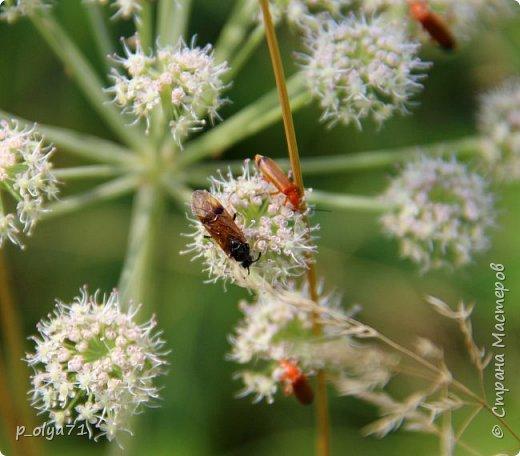 Здравствуйте,дорогие!!! В этом году лето очень радует! Тепло,даже жарко,бывает до +30,но и дождики временами проходят. И,по сравнению с прошлым летом,вижу очень много бабочек!!! Причём,разных,некоторых даже раньше не видела )) И везде(и на огороде,и на поле) много цветов... фото 86