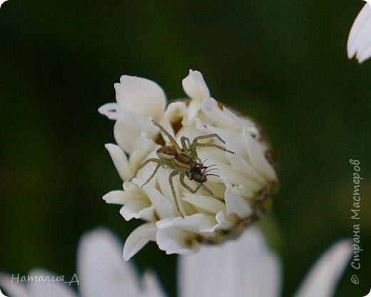 Летнего всем настроения! Пришел ко мне долгожданный ОТПУСК!!! И проведу я его на дачке.... в чудесном цветочно-насекомышном обществе, не считая мужа и мамы.... ДЕЛЮСЬ НАСТРОЕНИЕМ!!! фотков будет много, простите! фото 8