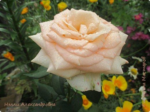 Сегодня  мелкий дождь. Капельки дождя красиво искрятся на цветах и листьях. Пробую своей мыльницей передать  это. фото 1