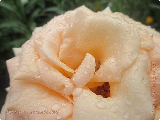 Сегодня  мелкий дождь. Капельки дождя красиво искрятся на цветах и листьях. Пробую своей мыльницей передать  это. фото 2
