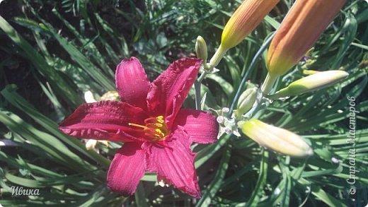 Здравствуйте! На моём клочочке огорода посажен ещё и такой цветочек Красоднев. Он же Гемерокалис, он же Лилейник. Красодневом его прозвали из-за его особенности: цветок цветёт один день!  У кого они растут, те подтвердят. Распустился утром и радует цветением до вечера. Утром следующий цветок распускается! Из-за множества бутонов, кажется, что он цветёт очень долго.  Вот  такая нежность!  фото 18