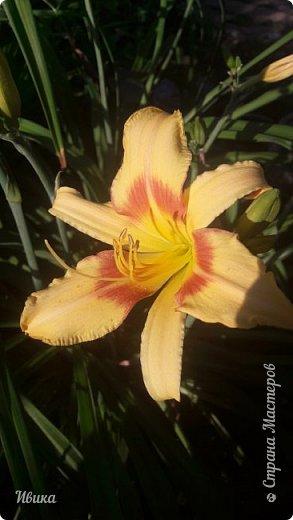 Здравствуйте! На моём клочочке огорода посажен ещё и такой цветочек Красоднев. Он же Гемерокалис, он же Лилейник. Красодневом его прозвали из-за его особенности: цветок цветёт один день!  У кого они растут, те подтвердят. Распустился утром и радует цветением до вечера. Утром следующий цветок распускается! Из-за множества бутонов, кажется, что он цветёт очень долго.  Вот  такая нежность!  фото 10