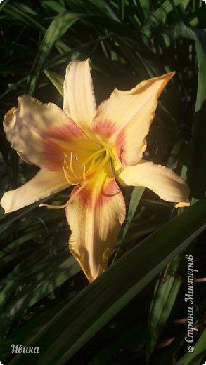 Здравствуйте! На моём клочочке огорода посажен ещё и такой цветочек Красоднев. Он же Гемерокалис, он же Лилейник. Красодневом его прозвали из-за его особенности: цветок цветёт один день!  У кого они растут, те подтвердят. Распустился утром и радует цветением до вечера. Утром следующий цветок распускается! Из-за множества бутонов, кажется, что он цветёт очень долго.  Вот  такая нежность!  фото 9