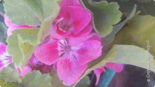 Здравствуйте! Герань, пеларгония, калачики - это всё один и тот же цветок. Многими любимый за свою красоту, неприхотливость и общедоступность. И многими не любим за резкий запах.  До прошлого года у меня была коллекция из 16 разных оттенков. Загубила из-за собственной беспечности - проглядела резкое снижение температуры. Поверите? Рыдала... Осталось всего две гераньки... Весной начала собирать и лелеять новые. Что-то купила, что-то мне подарила знакомая цветочница. Несколько отростков сваха дала, из моей погибшей коллекции (делилась с ней). Не все ещё зацвели. Но все отростки принялись. Очень надеюсь, что среди них будет лососевая мраморная. Очень красивая!  Вот эта красота из голландской селекции. Одна из выживших! фото 9