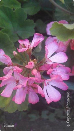 Здравствуйте! Герань, пеларгония, калачики - это всё один и тот же цветок. Многими любимый за свою красоту, неприхотливость и общедоступность. И многими не любим за резкий запах.  До прошлого года у меня была коллекция из 16 разных оттенков. Загубила из-за собственной беспечности - проглядела резкое снижение температуры. Поверите? Рыдала... Осталось всего две гераньки... Весной начала собирать и лелеять новые. Что-то купила, что-то мне подарила знакомая цветочница. Несколько отростков сваха дала, из моей погибшей коллекции (делилась с ней). Не все ещё зацвели. Но все отростки принялись. Очень надеюсь, что среди них будет лососевая мраморная. Очень красивая!  Вот эта красота из голландской селекции. Одна из выживших! фото 8