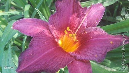 Здравствуйте! На моём клочочке огорода посажен ещё и такой цветочек Красоднев. Он же Гемерокалис, он же Лилейник. Красодневом его прозвали из-за его особенности: цветок цветёт один день!  У кого они растут, те подтвердят. Распустился утром и радует цветением до вечера. Утром следующий цветок распускается! Из-за множества бутонов, кажется, что он цветёт очень долго.  Вот  такая нежность!  фото 17