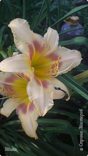Здравствуйте! На моём клочочке огорода посажен ещё и такой цветочек Красоднев. Он же Гемерокалис, он же Лилейник. Красодневом его прозвали из-за его особенности: цветок цветёт один день!  У кого они растут, те подтвердят. Распустился утром и радует цветением до вечера. Утром следующий цветок распускается! Из-за множества бутонов, кажется, что он цветёт очень долго.  Вот  такая нежность!  фото 4