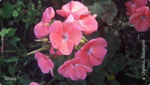 Здравствуйте! Герань, пеларгония, калачики - это всё один и тот же цветок. Многими любимый за свою красоту, неприхотливость и общедоступность. И многими не любим за резкий запах.  До прошлого года у меня была коллекция из 16 разных оттенков. Загубила из-за собственной беспечности - проглядела резкое снижение температуры. Поверите? Рыдала... Осталось всего две гераньки... Весной начала собирать и лелеять новые. Что-то купила, что-то мне подарила знакомая цветочница. Несколько отростков сваха дала, из моей погибшей коллекции (делилась с ней). Не все ещё зацвели. Но все отростки принялись. Очень надеюсь, что среди них будет лососевая мраморная. Очень красивая!  Вот эта красота из голландской селекции. Одна из выживших! фото 2