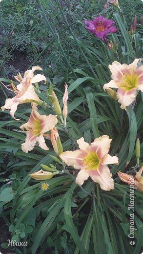 Здравствуйте! На моём клочочке огорода посажен ещё и такой цветочек Красоднев. Он же Гемерокалис, он же Лилейник. Красодневом его прозвали из-за его особенности: цветок цветёт один день!  У кого они растут, те подтвердят. Распустился утром и радует цветением до вечера. Утром следующий цветок распускается! Из-за множества бутонов, кажется, что он цветёт очень долго.  Вот  такая нежность!  фото 7
