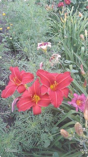 Здравствуйте! На моём клочочке огорода посажен ещё и такой цветочек Красоднев. Он же Гемерокалис, он же Лилейник. Красодневом его прозвали из-за его особенности: цветок цветёт один день!  У кого они растут, те подтвердят. Распустился утром и радует цветением до вечера. Утром следующий цветок распускается! Из-за множества бутонов, кажется, что он цветёт очень долго.  Вот  такая нежность!  фото 16