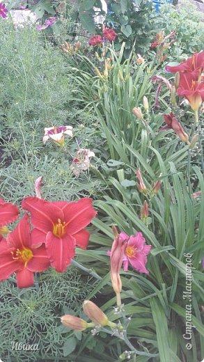 Здравствуйте! На моём клочочке огорода посажен ещё и такой цветочек Красоднев. Он же Гемерокалис, он же Лилейник. Красодневом его прозвали из-за его особенности: цветок цветёт один день!  У кого они растут, те подтвердят. Распустился утром и радует цветением до вечера. Утром следующий цветок распускается! Из-за множества бутонов, кажется, что он цветёт очень долго.  Вот  такая нежность!  фото 15