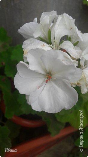 Здравствуйте! Герань, пеларгония, калачики - это всё один и тот же цветок. Многими любимый за свою красоту, неприхотливость и общедоступность. И многими не любим за резкий запах.  До прошлого года у меня была коллекция из 16 разных оттенков. Загубила из-за собственной беспечности - проглядела резкое снижение температуры. Поверите? Рыдала... Осталось всего две гераньки... Весной начала собирать и лелеять новые. Что-то купила, что-то мне подарила знакомая цветочница. Несколько отростков сваха дала, из моей погибшей коллекции (делилась с ней). Не все ещё зацвели. Но все отростки принялись. Очень надеюсь, что среди них будет лососевая мраморная. Очень красивая!  Вот эта красота из голландской селекции. Одна из выживших! фото 3