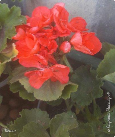 Здравствуйте! Герань, пеларгония, калачики - это всё один и тот же цветок. Многими любимый за свою красоту, неприхотливость и общедоступность. И многими не любим за резкий запах.  До прошлого года у меня была коллекция из 16 разных оттенков. Загубила из-за собственной беспечности - проглядела резкое снижение температуры. Поверите? Рыдала... Осталось всего две гераньки... Весной начала собирать и лелеять новые. Что-то купила, что-то мне подарила знакомая цветочница. Несколько отростков сваха дала, из моей погибшей коллекции (делилась с ней). Не все ещё зацвели. Но все отростки принялись. Очень надеюсь, что среди них будет лососевая мраморная. Очень красивая!  Вот эта красота из голландской селекции. Одна из выживших! фото 11