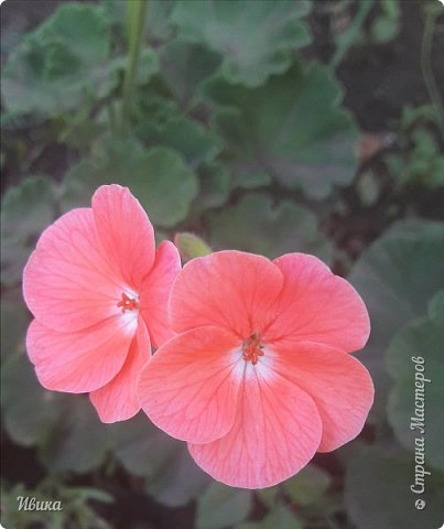 Здравствуйте! Герань, пеларгония, калачики - это всё один и тот же цветок. Многими любимый за свою красоту, неприхотливость и общедоступность. И многими не любим за резкий запах.  До прошлого года у меня была коллекция из 16 разных оттенков. Загубила из-за собственной беспечности - проглядела резкое снижение температуры. Поверите? Рыдала... Осталось всего две гераньки... Весной начала собирать и лелеять новые. Что-то купила, что-то мне подарила знакомая цветочница. Несколько отростков сваха дала, из моей погибшей коллекции (делилась с ней). Не все ещё зацвели. Но все отростки принялись. Очень надеюсь, что среди них будет лососевая мраморная. Очень красивая!  Вот эта красота из голландской селекции. Одна из выживших!