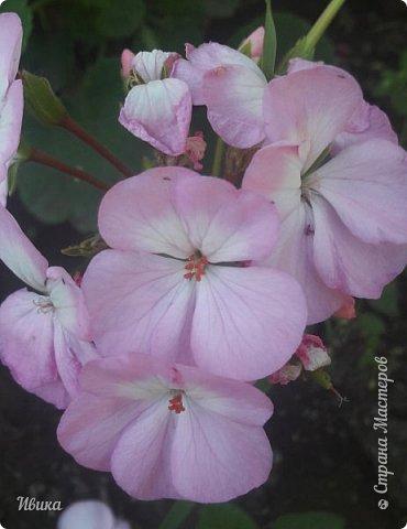 Здравствуйте! Герань, пеларгония, калачики - это всё один и тот же цветок. Многими любимый за свою красоту, неприхотливость и общедоступность. И многими не любим за резкий запах.  До прошлого года у меня была коллекция из 16 разных оттенков. Загубила из-за собственной беспечности - проглядела резкое снижение температуры. Поверите? Рыдала... Осталось всего две гераньки... Весной начала собирать и лелеять новые. Что-то купила, что-то мне подарила знакомая цветочница. Несколько отростков сваха дала, из моей погибшей коллекции (делилась с ней). Не все ещё зацвели. Но все отростки принялись. Очень надеюсь, что среди них будет лососевая мраморная. Очень красивая!  Вот эта красота из голландской селекции. Одна из выживших! фото 12