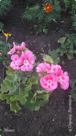 Здравствуйте! Герань, пеларгония, калачики - это всё один и тот же цветок. Многими любимый за свою красоту, неприхотливость и общедоступность. И многими не любим за резкий запах.  До прошлого года у меня была коллекция из 16 разных оттенков. Загубила из-за собственной беспечности - проглядела резкое снижение температуры. Поверите? Рыдала... Осталось всего две гераньки... Весной начала собирать и лелеять новые. Что-то купила, что-то мне подарила знакомая цветочница. Несколько отростков сваха дала, из моей погибшей коллекции (делилась с ней). Не все ещё зацвели. Но все отростки принялись. Очень надеюсь, что среди них будет лососевая мраморная. Очень красивая!  Вот эта красота из голландской селекции. Одна из выживших! фото 18
