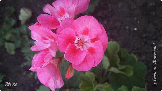 Здравствуйте! Герань, пеларгония, калачики - это всё один и тот же цветок. Многими любимый за свою красоту, неприхотливость и общедоступность. И многими не любим за резкий запах.  До прошлого года у меня была коллекция из 16 разных оттенков. Загубила из-за собственной беспечности - проглядела резкое снижение температуры. Поверите? Рыдала... Осталось всего две гераньки... Весной начала собирать и лелеять новые. Что-то купила, что-то мне подарила знакомая цветочница. Несколько отростков сваха дала, из моей погибшей коллекции (делилась с ней). Не все ещё зацвели. Но все отростки принялись. Очень надеюсь, что среди них будет лососевая мраморная. Очень красивая!  Вот эта красота из голландской селекции. Одна из выживших! фото 17