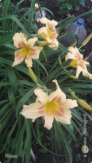 Здравствуйте! На моём клочочке огорода посажен ещё и такой цветочек Красоднев. Он же Гемерокалис, он же Лилейник. Красодневом его прозвали из-за его особенности: цветок цветёт один день!  У кого они растут, те подтвердят. Распустился утром и радует цветением до вечера. Утром следующий цветок распускается! Из-за множества бутонов, кажется, что он цветёт очень долго.  Вот  такая нежность!  фото 5