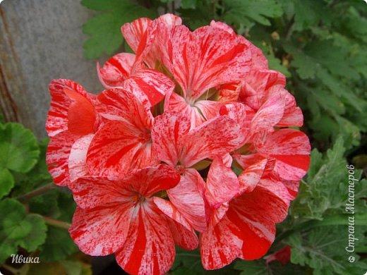 Здравствуйте! Герань, пеларгония, калачики - это всё один и тот же цветок. Многими любимый за свою красоту, неприхотливость и общедоступность. И многими не любим за резкий запах.  До прошлого года у меня была коллекция из 16 разных оттенков. Загубила из-за собственной беспечности - проглядела резкое снижение температуры. Поверите? Рыдала... Осталось всего две гераньки... Весной начала собирать и лелеять новые. Что-то купила, что-то мне подарила знакомая цветочница. Несколько отростков сваха дала, из моей погибшей коллекции (делилась с ней). Не все ещё зацвели. Но все отростки принялись. Очень надеюсь, что среди них будет лососевая мраморная. Очень красивая!  Вот эта красота из голландской селекции. Одна из выживших! фото 19
