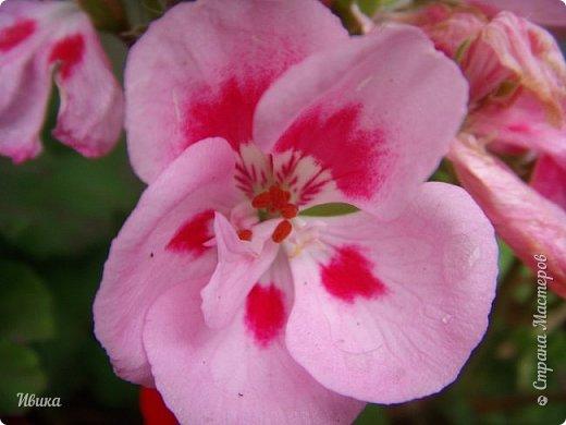 Здравствуйте! Герань, пеларгония, калачики - это всё один и тот же цветок. Многими любимый за свою красоту, неприхотливость и общедоступность. И многими не любим за резкий запах.  До прошлого года у меня была коллекция из 16 разных оттенков. Загубила из-за собственной беспечности - проглядела резкое снижение температуры. Поверите? Рыдала... Осталось всего две гераньки... Весной начала собирать и лелеять новые. Что-то купила, что-то мне подарила знакомая цветочница. Несколько отростков сваха дала, из моей погибшей коллекции (делилась с ней). Не все ещё зацвели. Но все отростки принялись. Очень надеюсь, что среди них будет лососевая мраморная. Очень красивая!  Вот эта красота из голландской селекции. Одна из выживших! фото 21