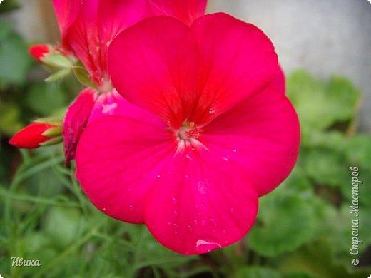 Здравствуйте! Герань, пеларгония, калачики - это всё один и тот же цветок. Многими любимый за свою красоту, неприхотливость и общедоступность. И многими не любим за резкий запах.  До прошлого года у меня была коллекция из 16 разных оттенков. Загубила из-за собственной беспечности - проглядела резкое снижение температуры. Поверите? Рыдала... Осталось всего две гераньки... Весной начала собирать и лелеять новые. Что-то купила, что-то мне подарила знакомая цветочница. Несколько отростков сваха дала, из моей погибшей коллекции (делилась с ней). Не все ещё зацвели. Но все отростки принялись. Очень надеюсь, что среди них будет лососевая мраморная. Очень красивая!  Вот эта красота из голландской селекции. Одна из выживших! фото 22