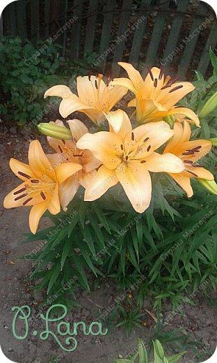 Добрый день,дорогие друзья! Сегодня предлагаю Вам полюбоваться лилиями, которые цвели у меня на участке. Приятного просмотра. фото 9