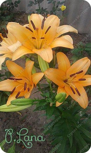 Добрый день,дорогие друзья! Сегодня предлагаю Вам полюбоваться лилиями, которые цвели у меня на участке. Приятного просмотра. фото 11