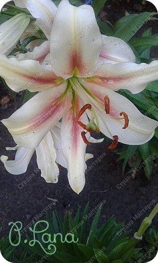 Добрый день,дорогие друзья! Сегодня предлагаю Вам полюбоваться лилиями, которые цвели у меня на участке. Приятного просмотра. фото 21