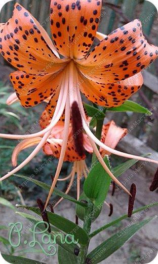 Добрый день,дорогие друзья! Сегодня предлагаю Вам полюбоваться лилиями, которые цвели у меня на участке. Приятного просмотра. фото 28