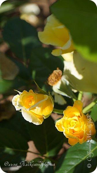 Здравствуйте гости и друзья моего блога! Совсем недавно я показала вам, как мы благоустраиваем свой огород - сад. Вам интересно? Загляните сюда: https://stranamasterov.ru/node/1149296 А сегодня я к вам со своими цветами, которые цветут на данный момент. Пионы нынче расцвели намного позднее. Вот уже последние цветочки. фото 22