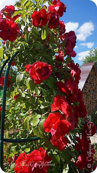 Здравствуйте гости и друзья моего блога! Совсем недавно я показала вам, как мы благоустраиваем свой огород - сад. Вам интересно? Загляните сюда: https://stranamasterov.ru/node/1149296 А сегодня я к вам со своими цветами, которые цветут на данный момент. Пионы нынче расцвели намного позднее. Вот уже последние цветочки. фото 24