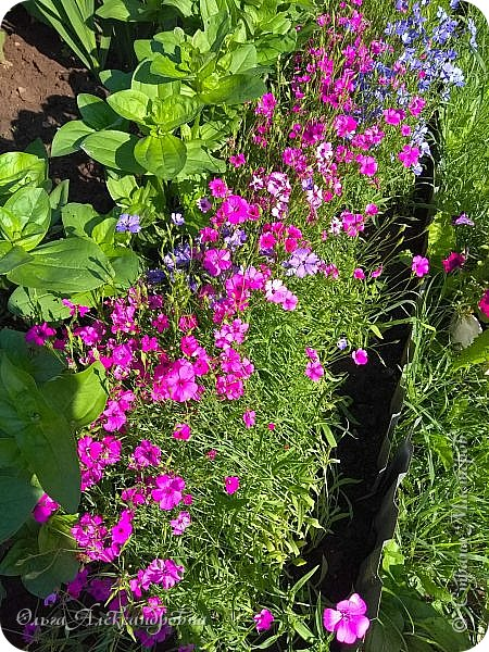 Здравствуйте гости и друзья моего блога! Совсем недавно я показала вам, как мы благоустраиваем свой огород - сад. Вам интересно? Загляните сюда: https://stranamasterov.ru/node/1149296 А сегодня я к вам со своими цветами, которые цветут на данный момент. Пионы нынче расцвели намного позднее. Вот уже последние цветочки. фото 19