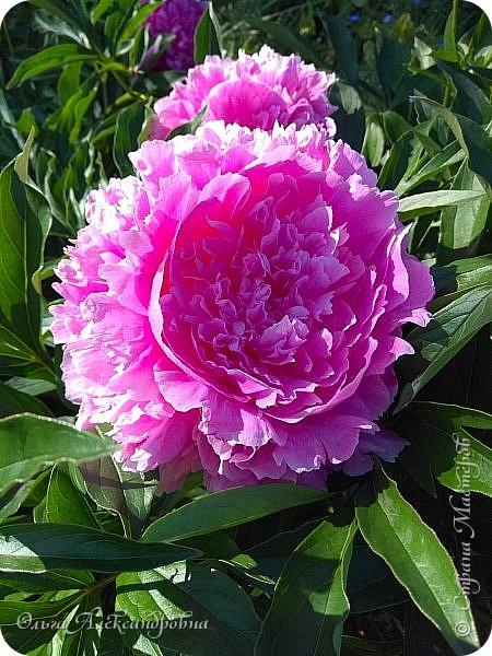 Здравствуйте гости и друзья моего блога! Совсем недавно я показала вам, как мы благоустраиваем свой огород - сад. Вам интересно? Загляните сюда: https://stranamasterov.ru/node/1149296 А сегодня я к вам со своими цветами, которые цветут на данный момент. Пионы нынче расцвели намного позднее. Вот уже последние цветочки. фото 1