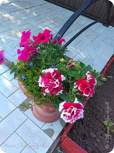 Здравствуйте гости и друзья моего блога! Совсем недавно я показала вам, как мы благоустраиваем свой огород - сад. Вам интересно? Загляните сюда: https://stranamasterov.ru/node/1149296 А сегодня я к вам со своими цветами, которые цветут на данный момент. Пионы нынче расцвели намного позднее. Вот уже последние цветочки. фото 13