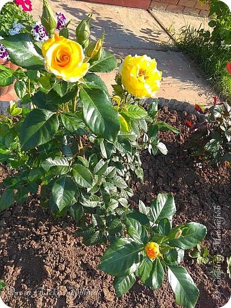 Здравствуйте гости и друзья моего блога! Совсем недавно я показала вам, как мы благоустраиваем свой огород - сад. Вам интересно? Загляните сюда: https://stranamasterov.ru/node/1149296 А сегодня я к вам со своими цветами, которые цветут на данный момент. Пионы нынче расцвели намного позднее. Вот уже последние цветочки. фото 26
