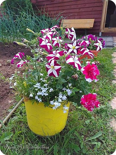 Здравствуйте гости и друзья моего блога! Совсем недавно я показала вам, как мы благоустраиваем свой огород - сад. Вам интересно? Загляните сюда: https://stranamasterov.ru/node/1149296 А сегодня я к вам со своими цветами, которые цветут на данный момент. Пионы нынче расцвели намного позднее. Вот уже последние цветочки. фото 8