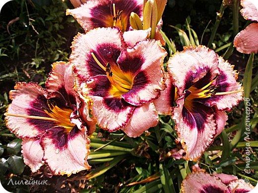 Здравствуйте, соседи! Зацвели новые лилейники, которые приобрела год назад. Первый лилейник- очень красив, цветет обильно больше месяца.Цветок 15 см, высота 55 см. фото 6