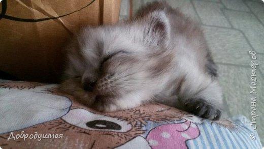 Кто смотрел записи в моем блоге - тот знает кто это =))))) Да, это моя Плюшка - шотландская прямоухая очень красивого шоколадного окраса. на фото она за день до рождения котят охлаждается на мокром полотенце. это фото было сделано ровно год назад. В тот момент я была дома. Болела ветрянкой (да-да, в 29 лет тоже можно заболеть ветрянкой и это было ооооооочень плохо - врагу не пожелаю). на улице +43 в тени (кондиционера у нас еще нет, а все окна выходят на солнечную сторону и солнце светит от рассвета до заката), дома отключили всякую воду - технические работы видите ли они проводили..... А на следующий день мы ждали появление малышей.... Роды были тяжелыми.... Пришлось колоть кошке специальные уколы (сразу предупрежу что все было сделано как надо - моя подруга в этом спец) для стимуляции. в итоге на свет появилось двое малышей. Серая девчушка и коричневый (я бы даже сказала - золотой) мальчуган =) но... к сожалению мальчишка родился мертвым..... я плакала..... кошка все поняла сразу и окружила всей своей любовью свою крошку....  фото 6