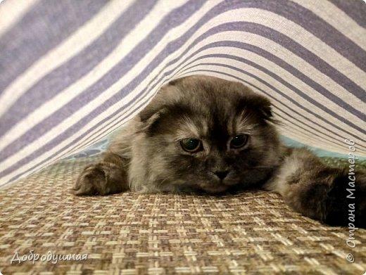 Кто смотрел записи в моем блоге - тот знает кто это =))))) Да, это моя Плюшка - шотландская прямоухая очень красивого шоколадного окраса. на фото она за день до рождения котят охлаждается на мокром полотенце. это фото было сделано ровно год назад. В тот момент я была дома. Болела ветрянкой (да-да, в 29 лет тоже можно заболеть ветрянкой и это было ооооооочень плохо - врагу не пожелаю). на улице +43 в тени (кондиционера у нас еще нет, а все окна выходят на солнечную сторону и солнце светит от рассвета до заката), дома отключили всякую воду - технические работы видите ли они проводили..... А на следующий день мы ждали появление малышей.... Роды были тяжелыми.... Пришлось колоть кошке специальные уколы (сразу предупрежу что все было сделано как надо - моя подруга в этом спец) для стимуляции. в итоге на свет появилось двое малышей. Серая девчушка и коричневый (я бы даже сказала - золотой) мальчуган =) но... к сожалению мальчишка родился мертвым..... я плакала..... кошка все поняла сразу и окружила всей своей любовью свою крошку....  фото 47