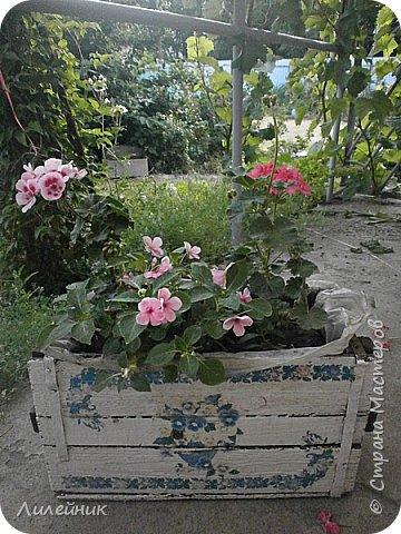 Здравствуйте,все любители цветов! С приходом весны, я как и большинство любителей цветов погружаемся в цветочно-посевные хлопоты; сеем семена,черенкуем вазоны. Всходы растений вырастают, черенки хорошо укоренились в стаканчиках и начинаешь ломать голову-как, куда, и с кем все это посадить. С тары идет вход все- ведра, тазики, дырявые старые миски, ящики и тд, и тп.Наступает июнь, июль, смотришь какая композиция получилась, а какая нет. Смотрим. В ящику посажены две пеларгонии и бальзамин из коллекции Сафари(сеянец прошлого года). фото 5