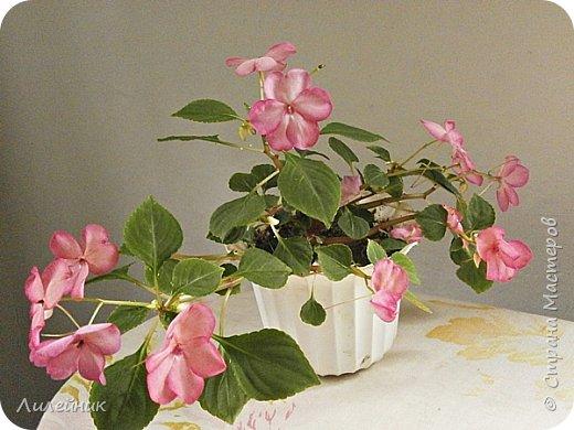 Здравствуйте,все любители цветов! С приходом весны, я как и большинство любителей цветов погружаемся в цветочно-посевные хлопоты; сеем семена,черенкуем вазоны. Всходы растений вырастают, черенки хорошо укоренились в стаканчиках и начинаешь ломать голову-как, куда, и с кем все это посадить. С тары идет вход все- ведра, тазики, дырявые старые миски, ящики и тд, и тп.Наступает июнь, июль, смотришь какая композиция получилась, а какая нет. Смотрим. В ящику посажены две пеларгонии и бальзамин из коллекции Сафари(сеянец прошлого года). фото 28