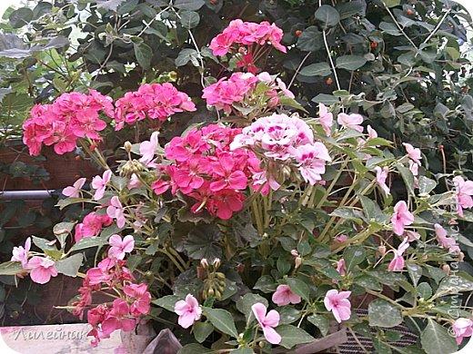 Здравствуйте,все любители цветов! С приходом весны, я как и большинство любителей цветов погружаемся в цветочно-посевные хлопоты; сеем семена,черенкуем вазоны. Всходы растений вырастают, черенки хорошо укоренились в стаканчиках и начинаешь ломать голову-как, куда, и с кем все это посадить. С тары идет вход все- ведра, тазики, дырявые старые миски, ящики и тд, и тп.Наступает июнь, июль, смотришь какая композиция получилась, а какая нет. Смотрим. В ящику посажены две пеларгонии и бальзамин из коллекции Сафари(сеянец прошлого года). фото 2